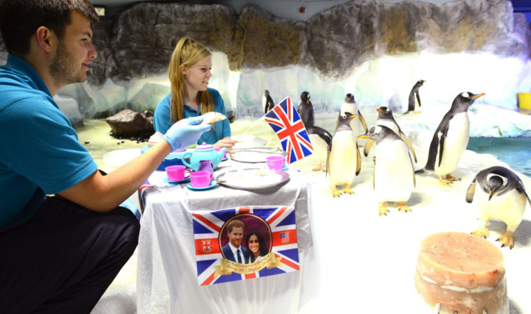 Penguins celebrating the royal wedding with james mcelroy & leah todd at the national sea life centre
